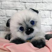 Котик сиамчик Тишка