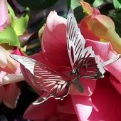 Бабочка хромированная