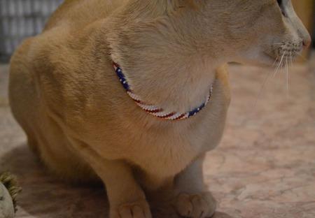 """Ошейник   """" Америка """" из бисера ,   для кошки ручной работы на заказ"""