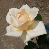 """Фото для печати и дизайна """"Кремовая роза"""""""