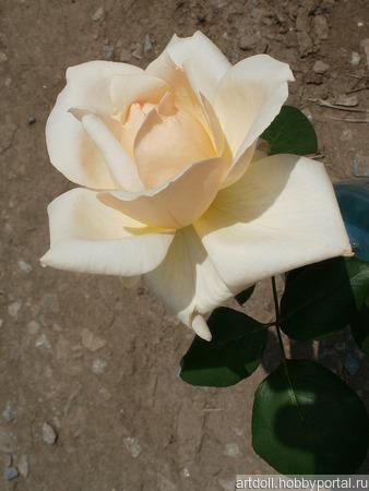 """Фото для печати и дизайна """"Кремовая роза"""" ручной работы на заказ"""