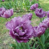 Фото для печати и дизайна Тюльпаны