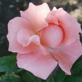 "Фото для печати и дизайна ""Принцесса Роза"""