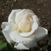 """Фото для печати и дизайна """"Белая роза"""""""