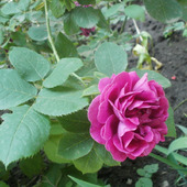 "Фото для печати и дизайна ""Роза"""