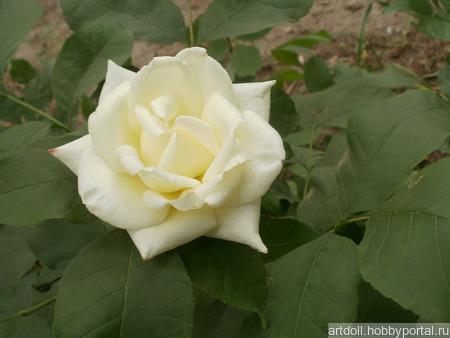 """Фото для печати и дизайна """"Белая роза"""" ручной работы на заказ"""