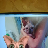 Сфинкс - лысый кот розового окраса